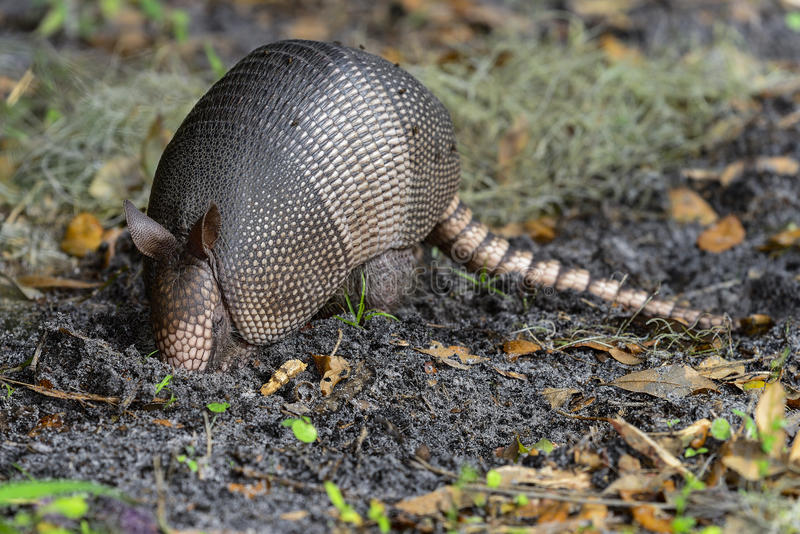 Nine-banded armadillo royalty free stock photography