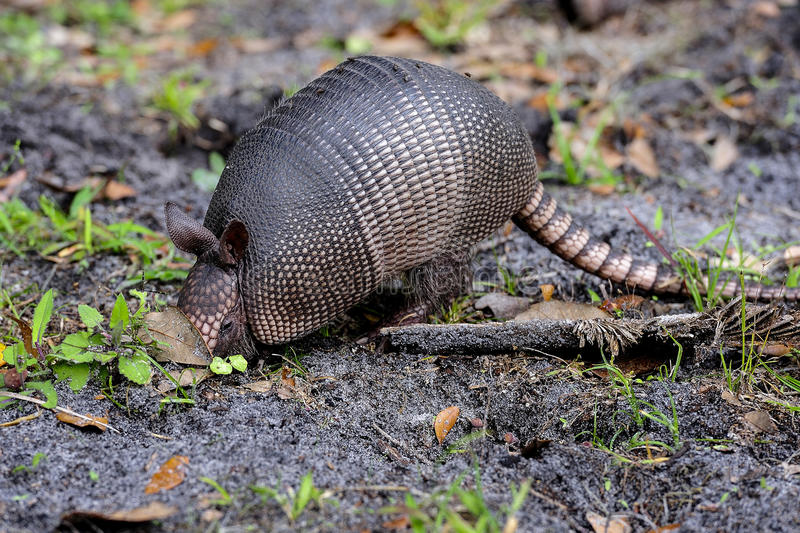 Nine-banded armadillo royalty free stock photos