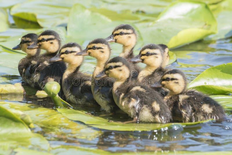 Download Nine Ducklings On A Lily Leaf Stock Image - Image of leaf, nine: 116469335