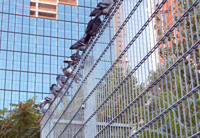 Nine pigeons roosting on a metal security fence royalty free stock photo