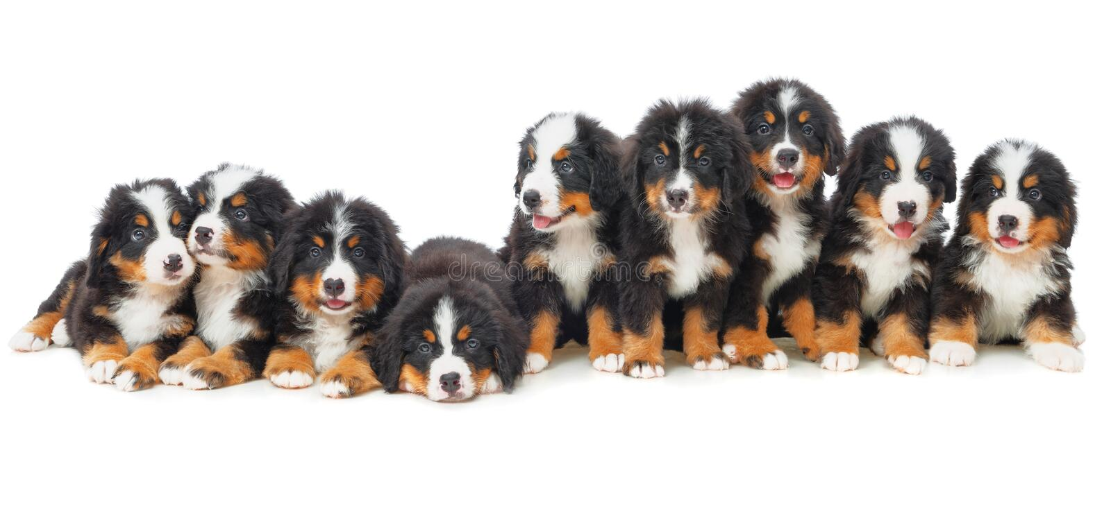 Nine puppies Bernese mountain dog. In studio on a white background