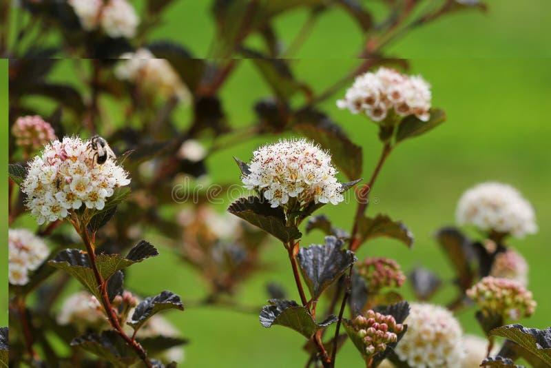 Ninebark comum de florescência do cultivar, vinho do verão do opulifolius de Physocarpus, no jardim do verão foto de stock