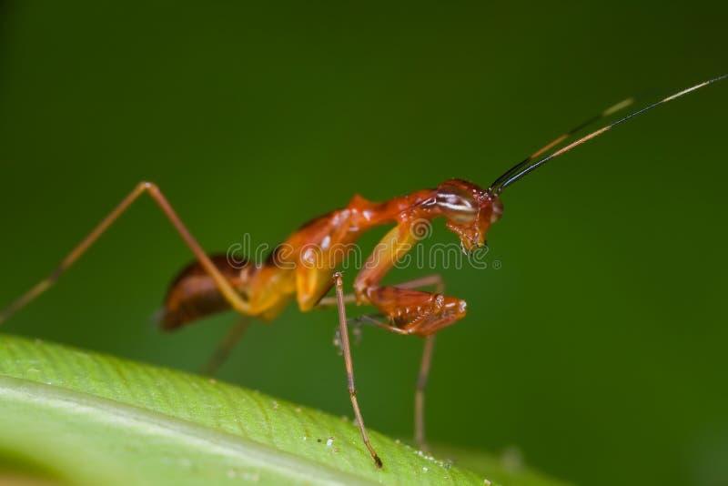 Ninfa avermelhada do mantis praying foto de stock