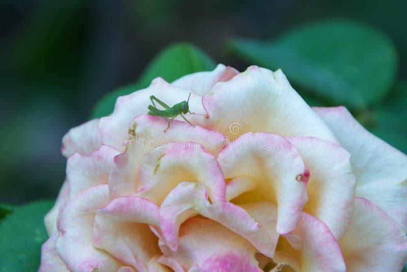 Ninfa recém-nascida do gafanhoto verde na flor da rosa foto de stock