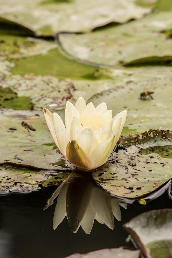 Ninfea con la riflessione e api sulle sue foglie fotografia stock