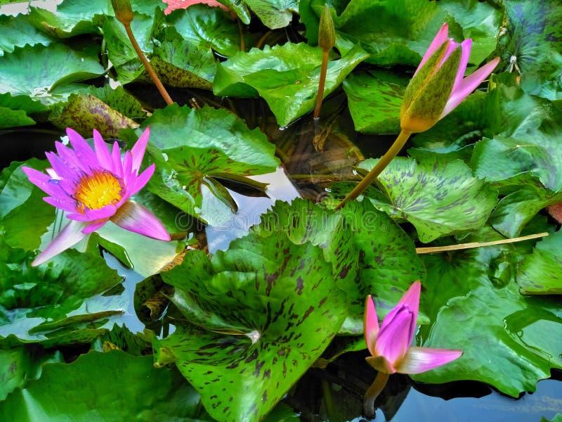 Ninfea con le foglie sull'acqua fotografie stock libere da diritti