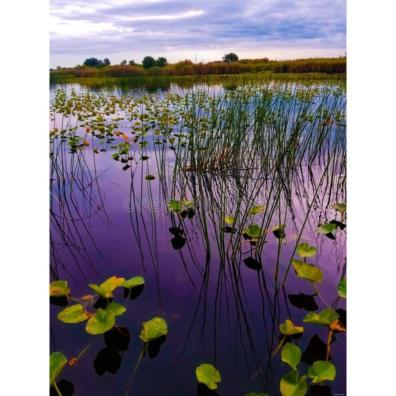 Ninfea ed erba alta sul fiume St Johns fotografia stock