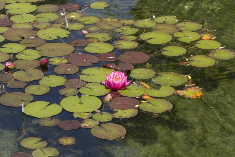 Ninfea/loto rosa immagini stock