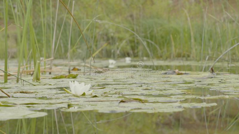 Ninfea in palude Lotus in natura su sfondo naturale Lotus bianco nella fine della palude su fotografia stock libera da diritti