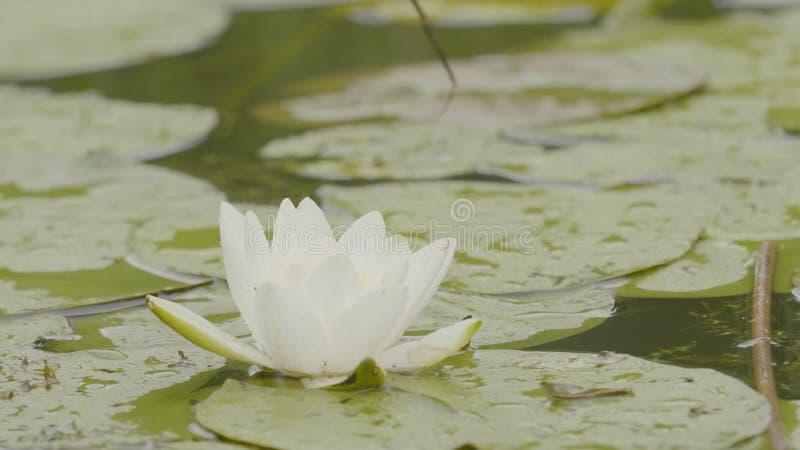 Ninfea in palude Lotus in natura su sfondo naturale Lotus bianco nella fine della palude su immagine stock