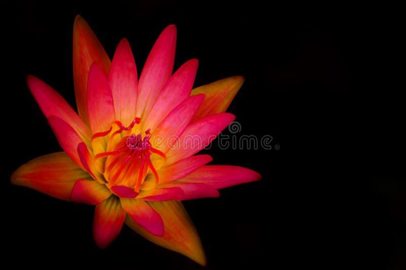 Ninfea rosa immagine stock