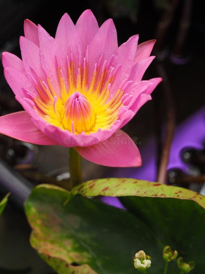 Ninfea rosa, fine su fotografie stock libere da diritti