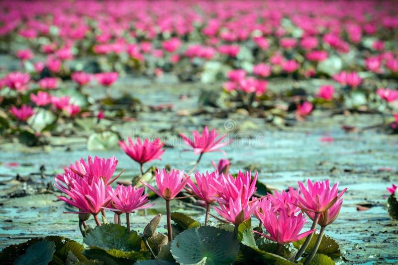 Ninfea rossa in lago fotografia stock libera da diritti