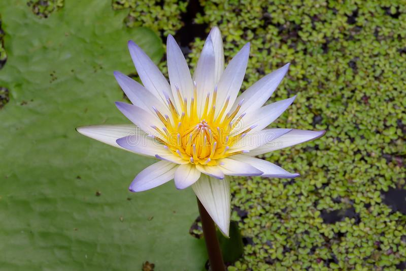 Ninfea tropicale porpora in stagno, giardini di Moir, Kauai, Hawai, Stati Uniti fotografia stock libera da diritti