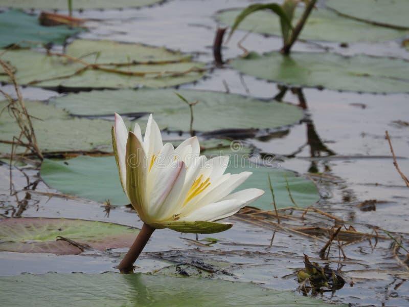 Ninfee bianche, lago con le foglie verdi fotografie stock