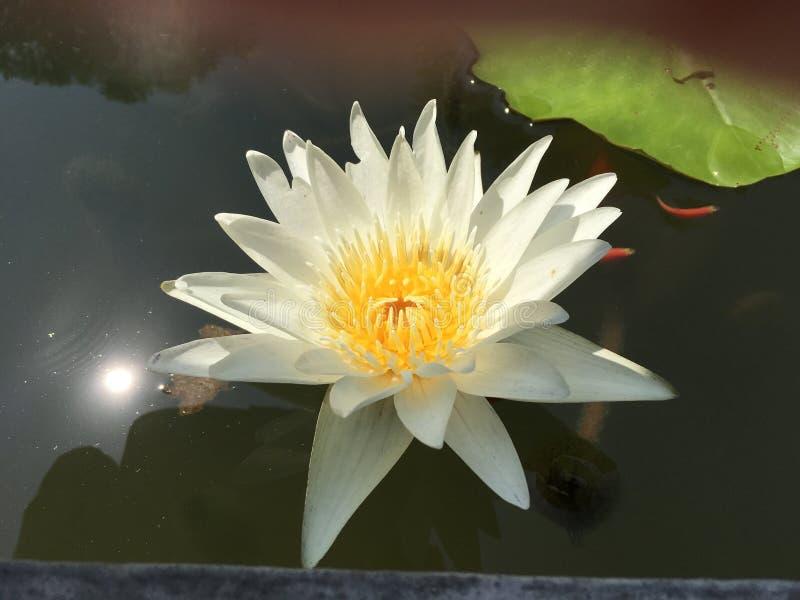 Ninfee bianche pastelli cremose tropicali in uno stagno il giorno soleggiato con i pesci arancio minuscoli immagine stock