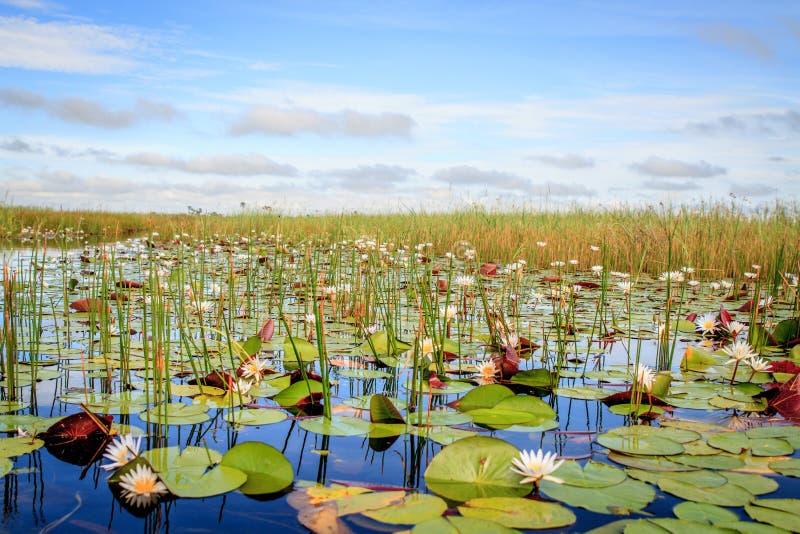 Ninfee nel delta di Okavango fotografia stock libera da diritti