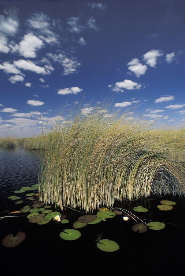 Ninfee nel delta di Okavango, Botswana fotografia stock libera da diritti