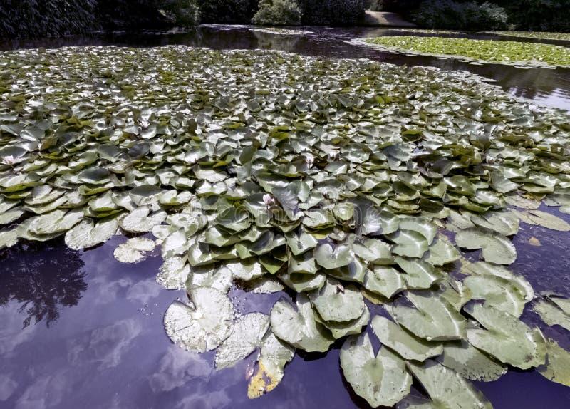 Ninfee - nymphaeaceae o travertino nel lago Shefield, Uckfield, Regno Unito fotografie stock