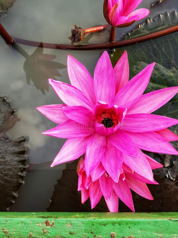 Ninfee rosa immagini stock