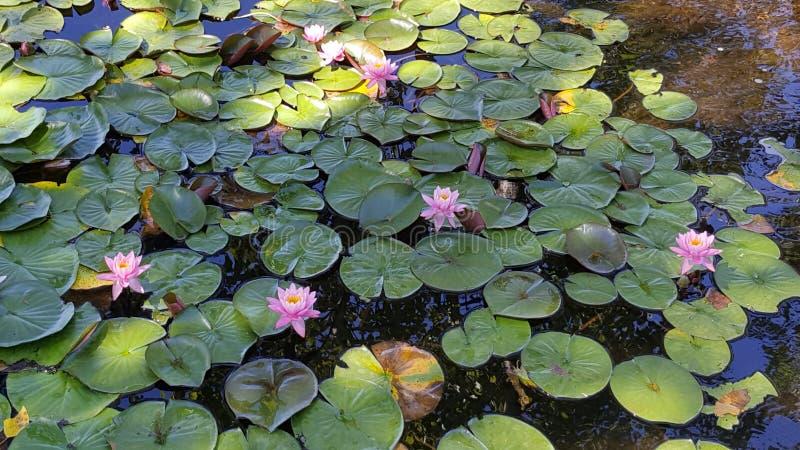Ninfee rosa in uno stagno isolato della montagna immagini stock