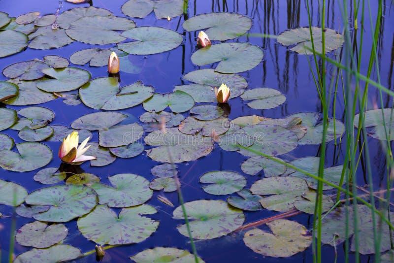 Ninfee in stagno con la riflessione di cielo blu fotografie stock