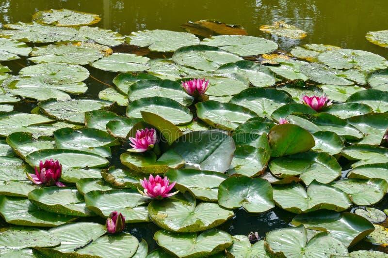 Ninfee in uno stagno Lotus Flowers fotografia stock libera da diritti