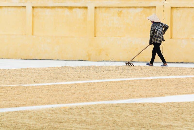 Ninh Binh, Βιετνάμ - το Μάιο του 2019: Η βιετναμέζικη γυναίκα ισιώνει το ξεραίνοντας ρύζι στο έδαφος με τις τσουγκράνες στοκ φωτογραφίες με δικαίωμα ελεύθερης χρήσης