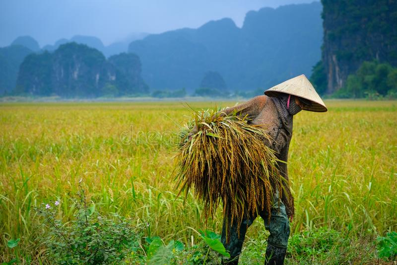 Ninh Binh/Vietnam, 09/11/2017: Lokale Vietnamese vrouw met kegelhoed het oogsten rijst met karst bergen op de achtergrond in royalty-vrije stock foto