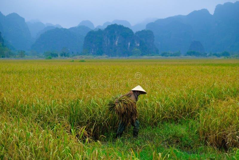 Ninh Binh/Vietnam, 09/11/2017: Lokale Vietnamese vrouw met kegelhoed het oogsten rijst met karst bergen op de achtergrond in stock fotografie
