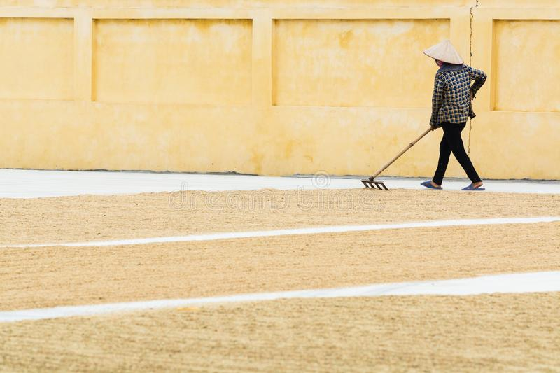 Ninh Binh, Vietnam - May 2019: Vietnamese woman flattens drying rice on the ground with the rakes royalty free stock photos