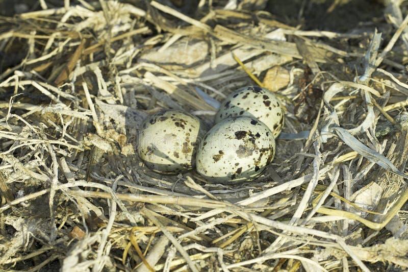Ninho comum da andorinha-do-mar (hirundo dos esternos) com ovos fotografia de stock royalty free