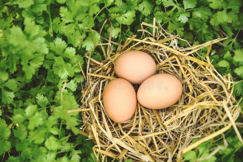 Ninho da cesta dos ovos da galinha com fundo dos corianderleaves foto de stock royalty free
