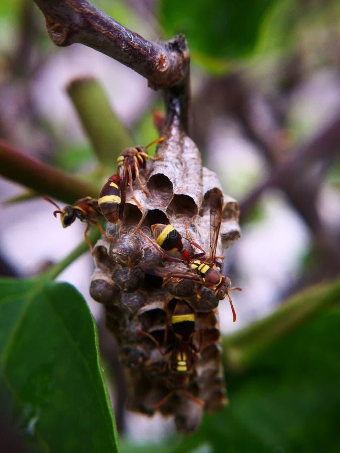 Ninho da vespa 4 vespas do guardião que protegem seus ninho e ovos Fotografia macro fotografia de stock