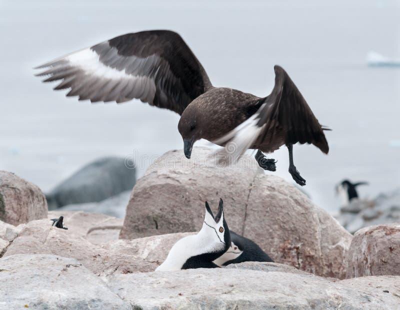Ninho de defesa do pinguim adulto de Chinstrap do Skua adulto pairando de Brown, ilha útil, península antártica imagem de stock