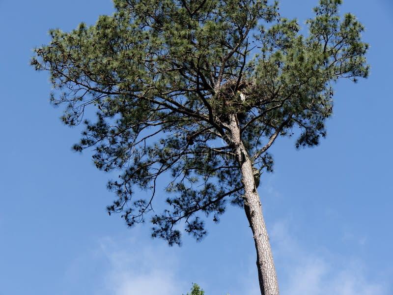Ninho de Eagles no pinheiro em Virgínia EUA imagem de stock