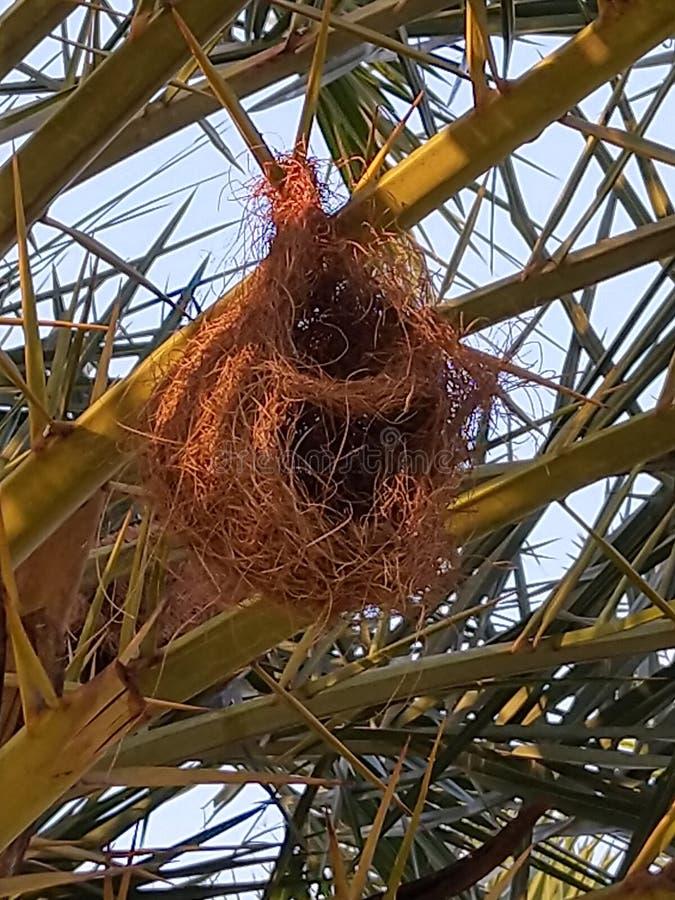 Ninho de pássaro numa árvore ornamental foto de stock royalty free