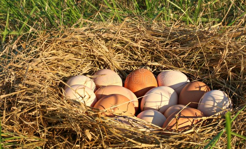 Ninho de todo o Brown natural, rosa, e ovos salpicados da galinha no campo aberto, gramíneo em uma exploração agrícola nas montan foto de stock