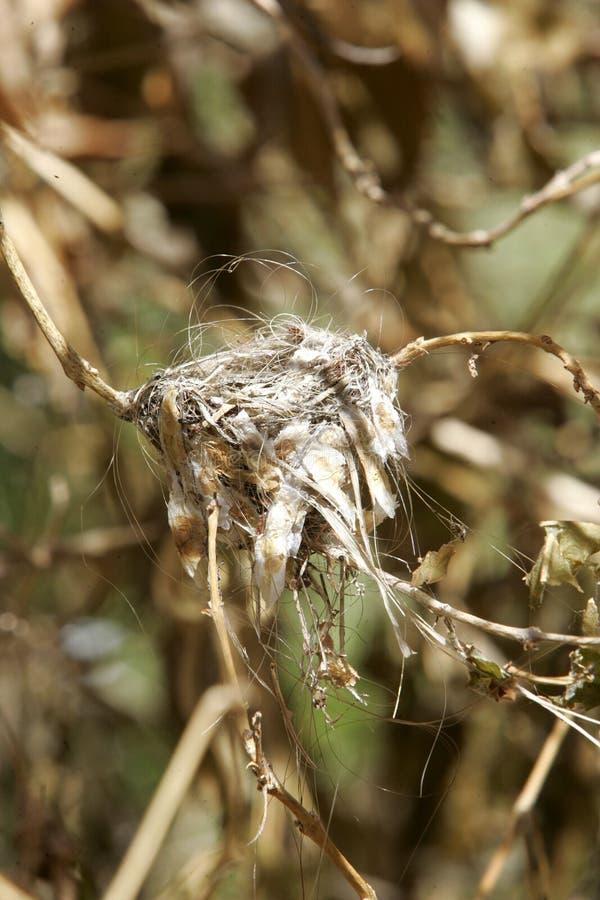 Ninho do colibri fotografia de stock