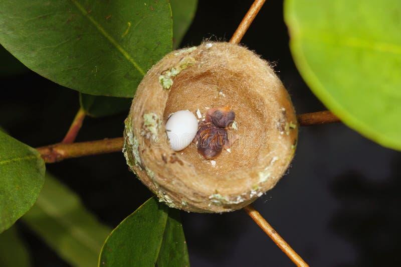 Ninho do colibri com um ovo e um bebê imagem de stock