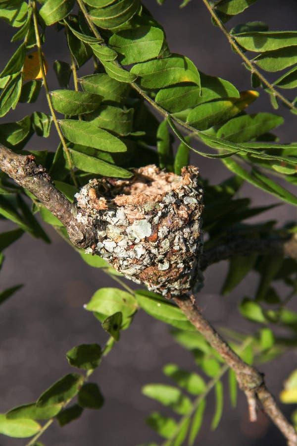 Ninho do colibri em um ramo de árvore imagem de stock