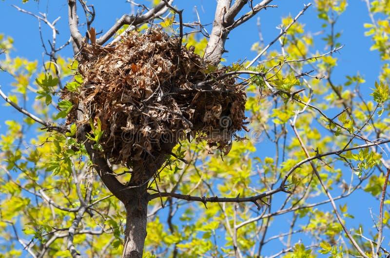 Ninho do esquilo de árvore alto acima em uma árvore imagens de stock