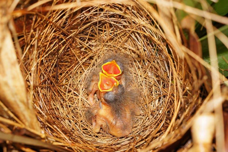 Ninho do pássaro com os dois pintainhos com fome fotografia de stock royalty free