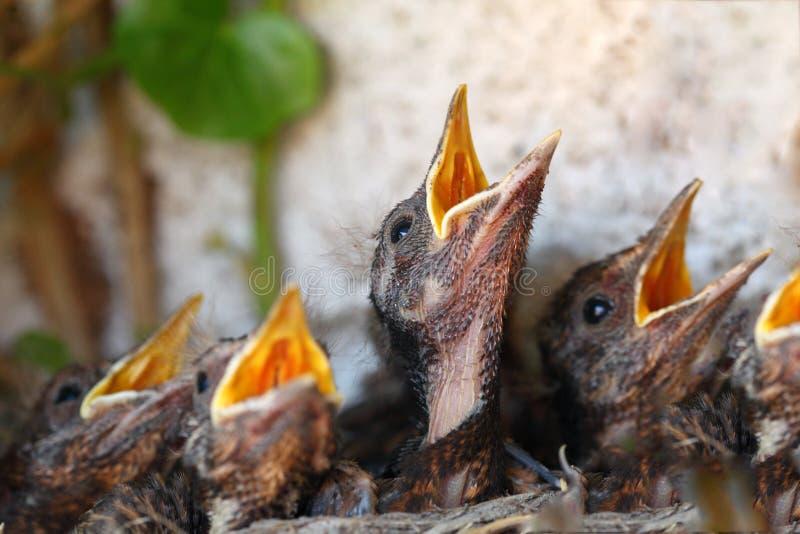Ninho do pássaro com pássaros novos fotografia de stock royalty free