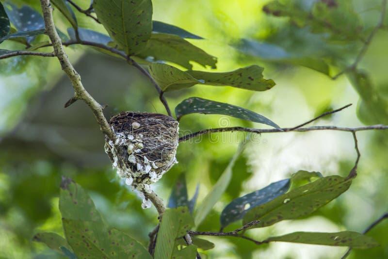 Ninho do papa-moscas do paraíso no parque nacional de Minneriya, Sri escorrido imagem de stock