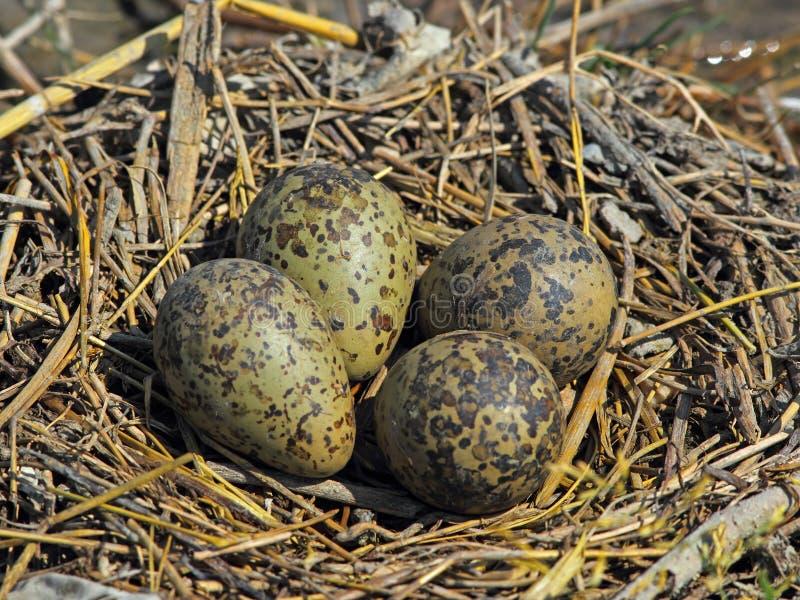 Ninho do Stilt com ovos imagens de stock royalty free