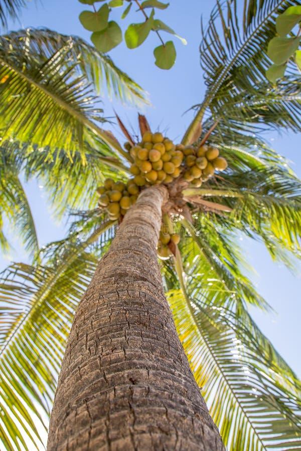 Ninho dos cocos fotos de stock