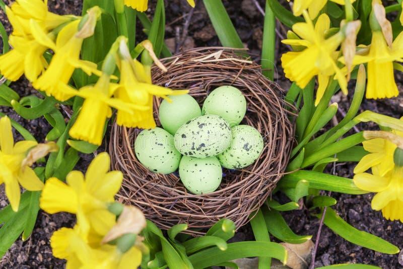 Ninho dos ovos da páscoa nos narcisos amarelos imagens de stock royalty free