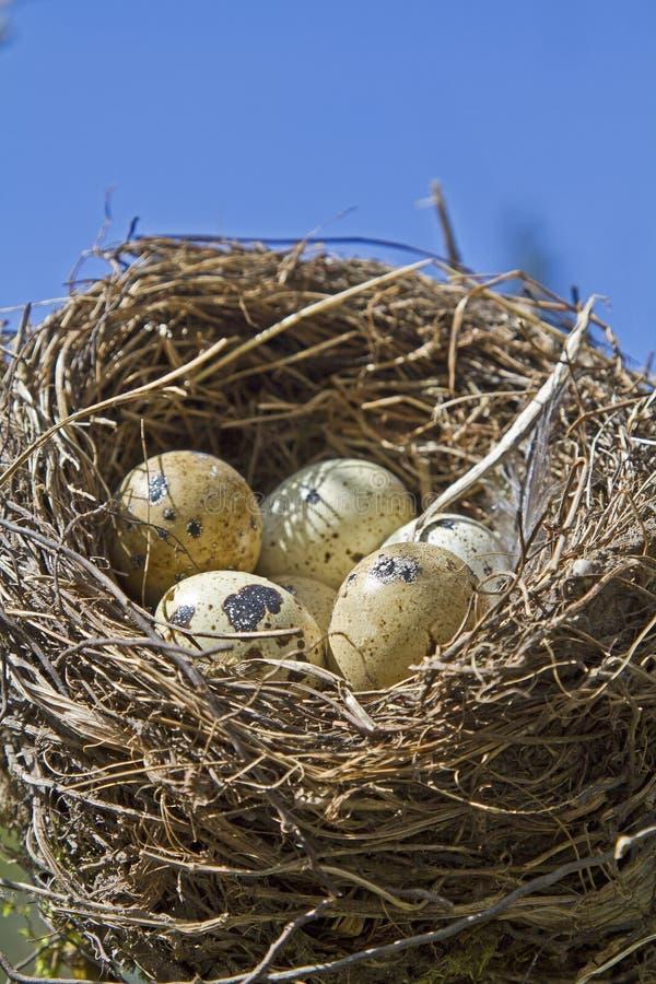 Download Ninho Dos Pássaros Com Ovos Foto de Stock - Imagem de manchado, muitos: 26506132