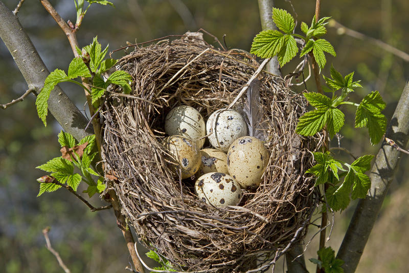 Download Ninho Dos Pássaros Com Ovos Imagem de Stock - Imagem de pontilhado, maçã: 26506159